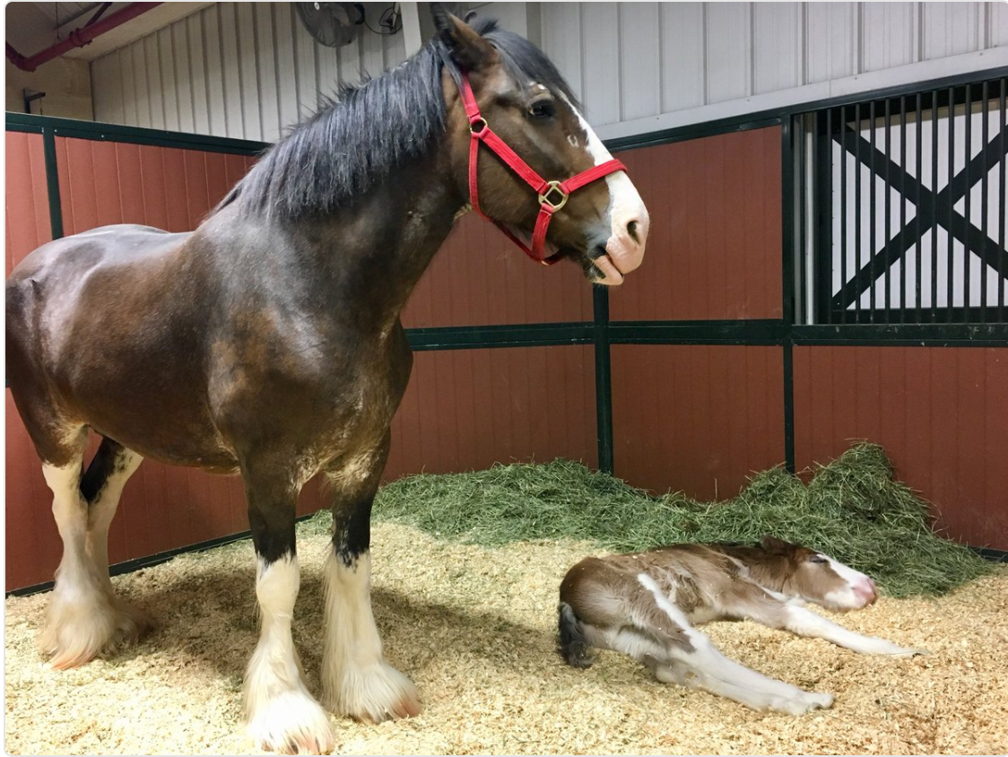 Budweiser Clydesdale Ranch Welcomes Seven Foals Open For Tours Fox 2