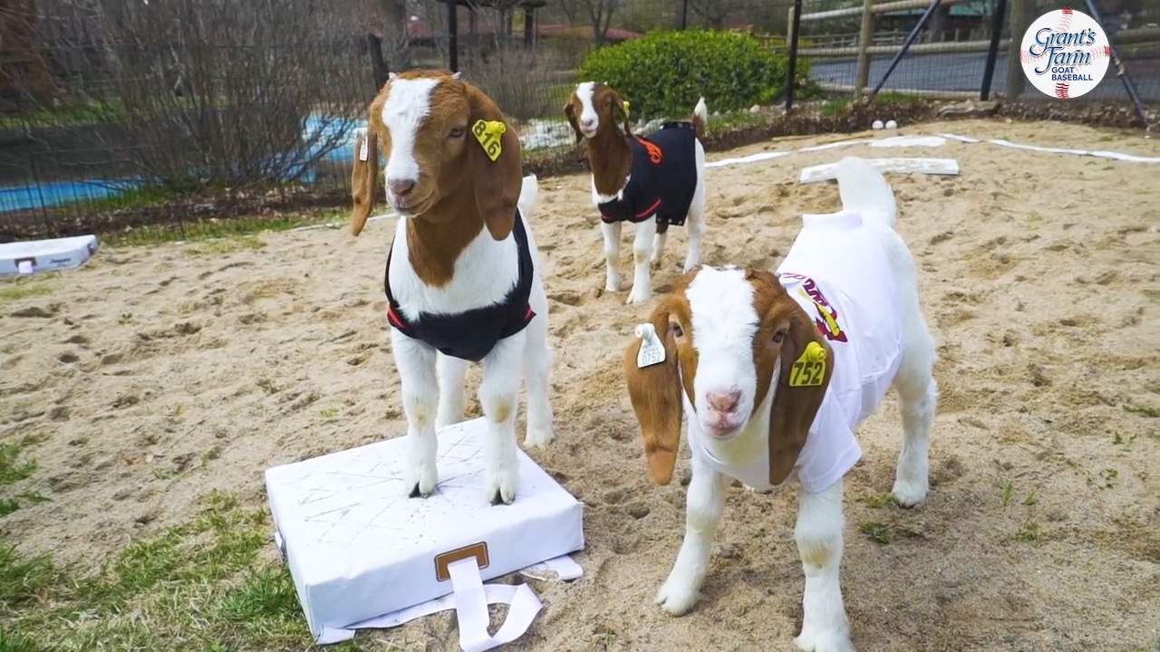 Uhr: Grant ' s Farm hostet Ziege baseball-Spiel zu Feiern verzögert home opener