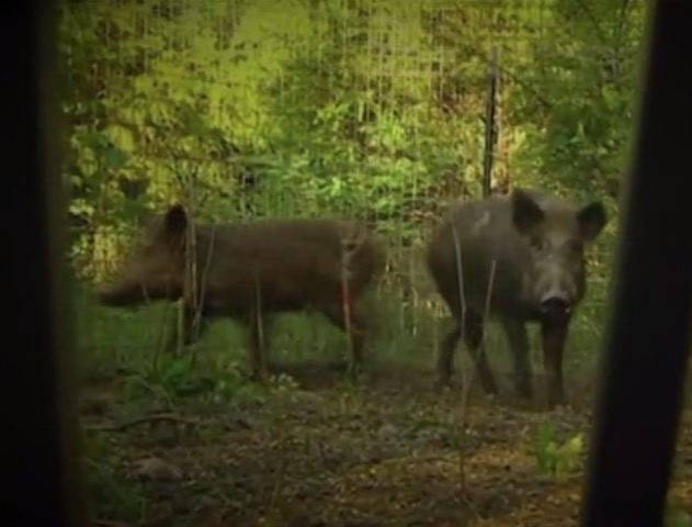 Missouri Feral Hogs